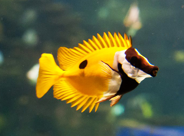 Blotched Foxface, Siganus unimaculatus, the latest non-native marine fish found in Florida's coastal waters. Image by Matt Chan – CC BY-ND 2.0