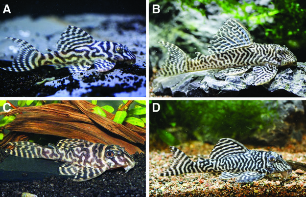 Phenotypes of worm-lined Hypancistrus from the Xingu River: (A) juvenile of L066; (B) adult of L066; (C) juvenile of L333; and (D) adult of L333