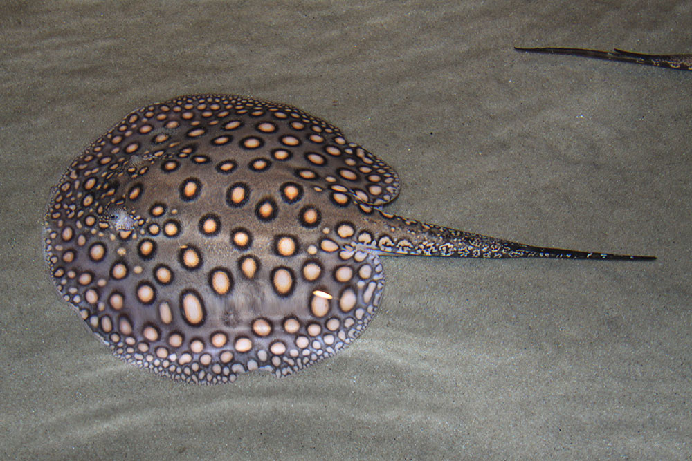 CITES Appendix III listings for Potamotrygon spp. by multiple countries will add a new layer of complexity to the trade in freshwater stingrays. Potamotrygon motoro shown here. Image by Jim Capaldi, retouched, CC BY 2.0
