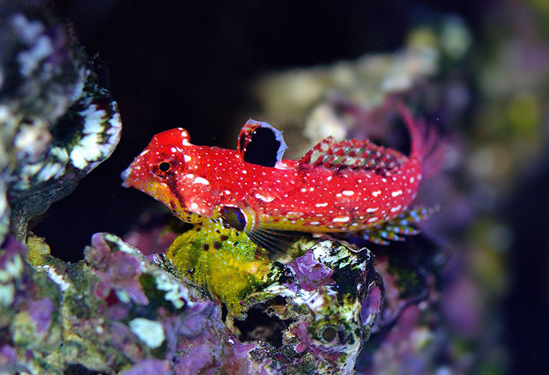 "A female ""Ruby Red"" or simply ""Ruby"" Dragonet, now Synchiropus sycorax, clearly displaying the sexual dimorphism and dichromatism in the dorsal fin that makes it so easy to differentiate the sexes."