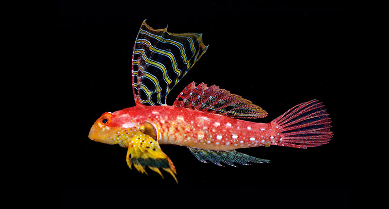 "The male holotype of the newly described Ruby Dragonet, Synchiropus sycorax, initially introduced by the aquarium trade as the ""Ruby Red Dragonet"""