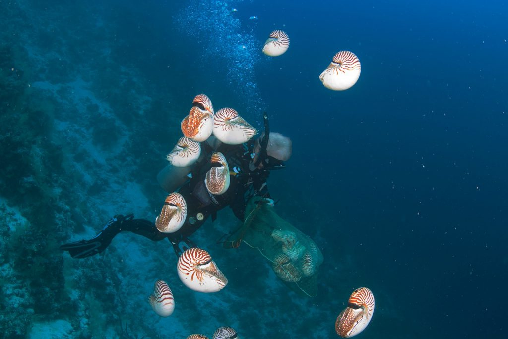 Dr. Bruce Carlson releasing Nautilus belauensis in Palau in 2015 during a research effort there to assess population changes since 1982. Image courtesy Marj Awai.