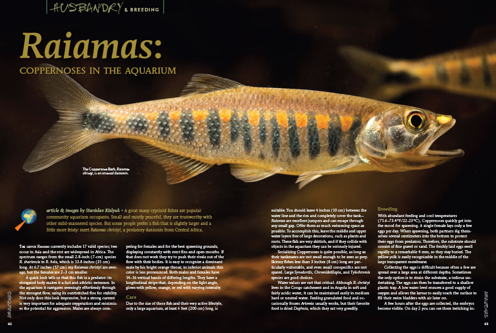 "Meet Raiamas christyi, a predatory danionin from Central Africa. Learn more in ""Raiamas: coppernoses in the aquarium,"" by Stanislav Kislyuk."