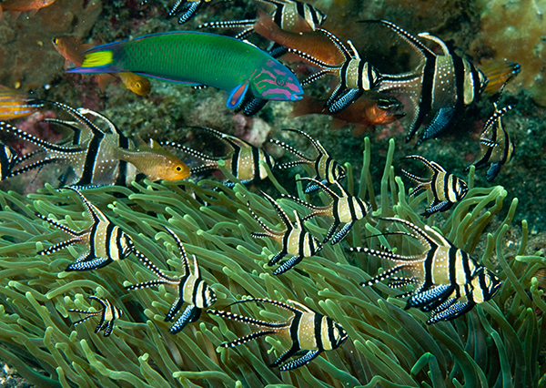 Wild Pterapogon kauderni: Aquarists now can choose between captive bred and wild-collected Banggai Cardinalfish, the latter usually a lower prices. Image: Shutterstock.
