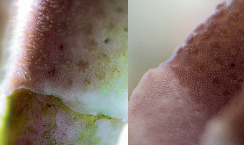 Left: Acropora coral with gradual loss of tissue and encroaching algae. Right: The same coral after the tungsten concentration was lowered. The tissue loss has stopped.