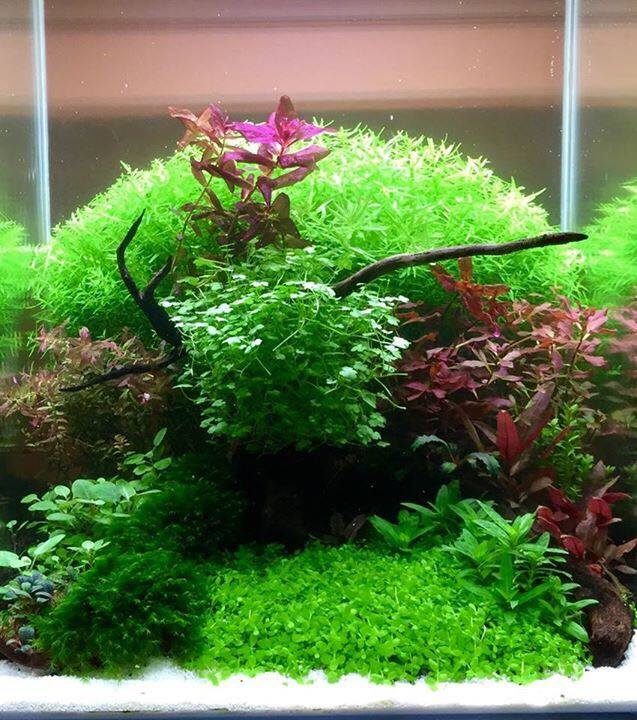 This lushly-planted aquascape could have been John Pini's nano tank entry at the 2016 Aquascaping Live! competition, but a change in the rules forced Pini to completely rethink his design. Image credit: John Pini