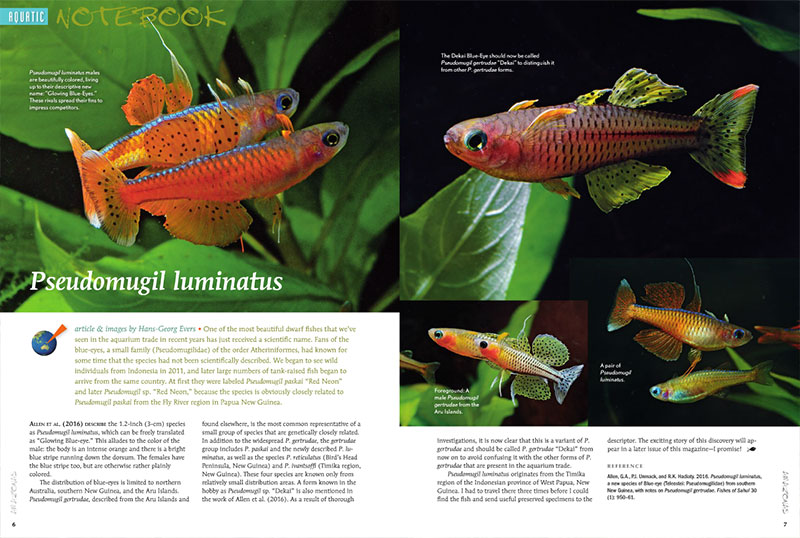 "Once labeled Pseudomugil paskai ""Red Neon,"" or simply P. sp. ""Red Neon,"" this stunning dwarf rainbowfish now has a name: Pseudomugil luminatus. Also in the AMAZONAS Aquatic Notebook: Black Rams, Corydoras knaacki, and the Running River Rainbowfish."