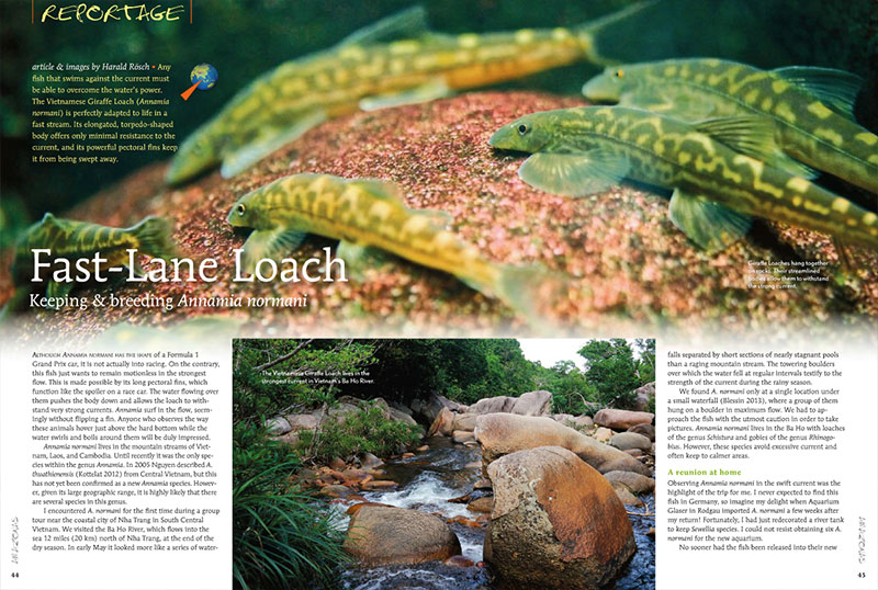 Harald Rösch introduces us to the keeping and breeding of the Vietnamese Giraffe Loach, Annamia normani.