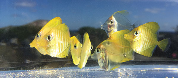 2016 saw the first commercial release of some 700 Yellow Tangs bred at Hawaii's Oceanic Institute by a team led by Dr. Chad Callan. Image credit: Chatham Callan, Ph.D.