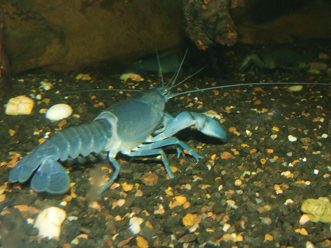 Cherax destructor has been seen in the aquarium trade going by names including White Knight and Blue Knight Lobster. It's importation, as well as transportation across state lines, is now prohibited. Image Source : Wikipedia / GNU Free License