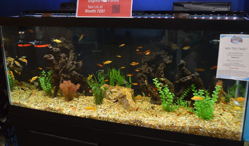 Mollies and Swordtails furnished by Segrest Farms filled this Livebearer display at the entrance of the show.