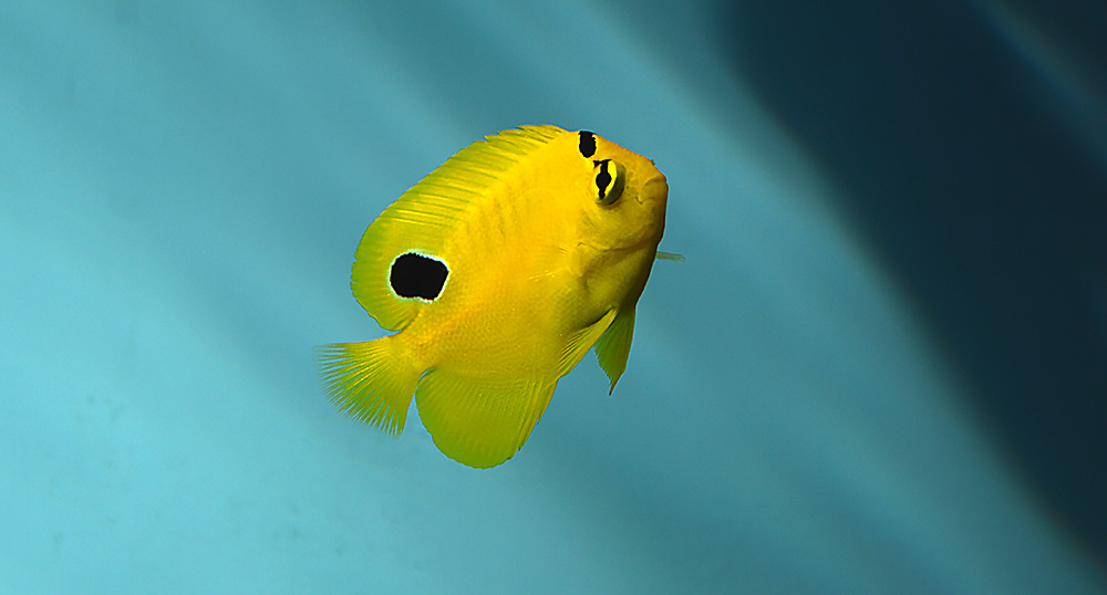 One of the first two captive-bred Goldflake Angelfish juveniles imported to the US.