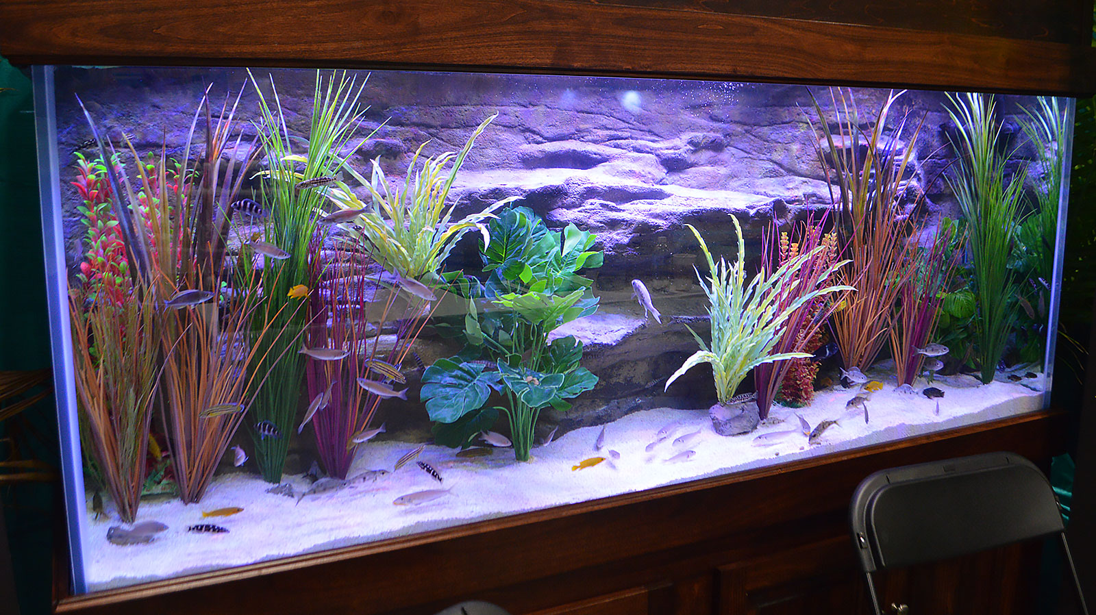 Freshwater aquarium fish exotic - Florida Exotic Fish Sales And Xtreme Aquatic Foods Presented A Display Featuring Tanganyikan Cichlids