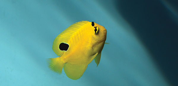 A juvenile captive-bred Goldflake Angelfish, Apolemichthys xanthopunctatus, released by Bali Aquarich in 2016. Click to learn more now in our online bonus article! Image credit: Matt Pedersen