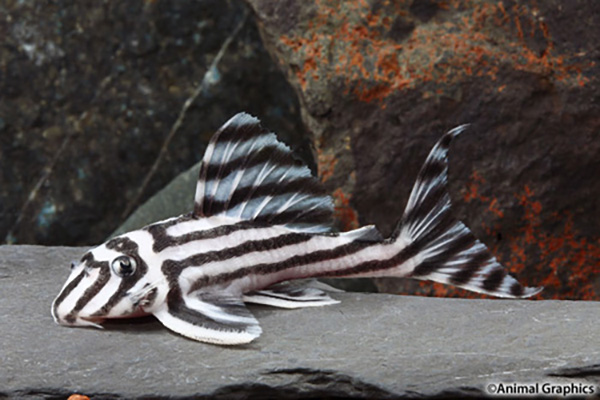 The beguiling little Zebra Pleco gains CITES protections called for by Brazil to stop illegal smuggling. Legal, aquacultured specimen shown in the Segrest Farms wholesale catalog. Image © Animal Graphics, courtesy Segrest Farms.