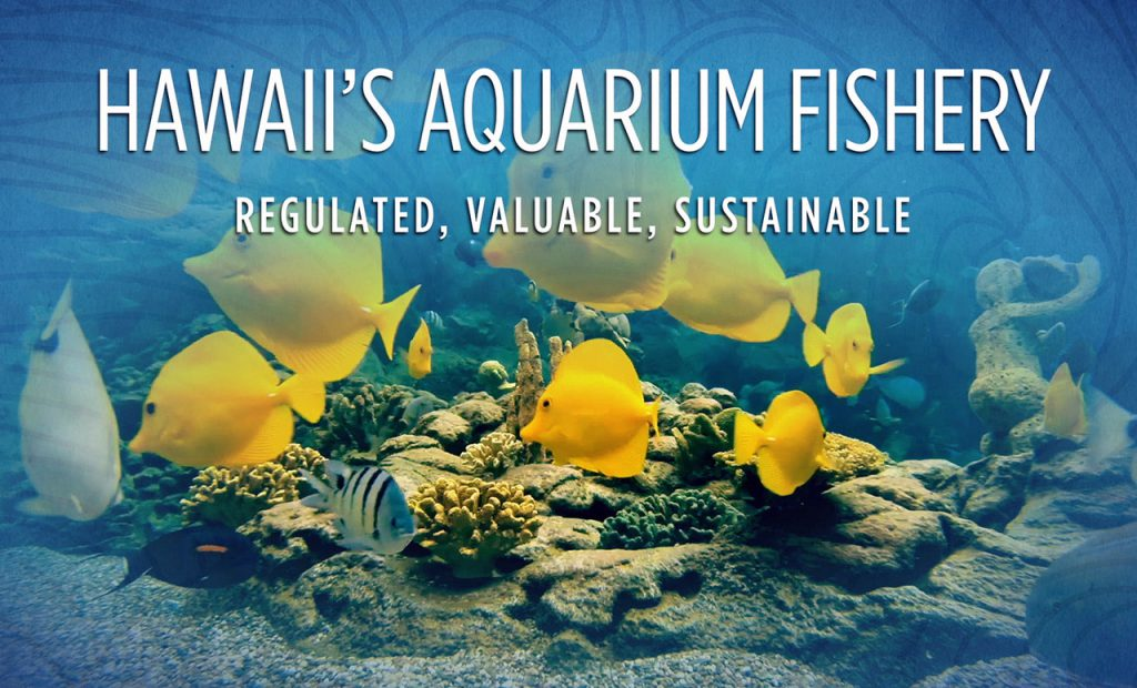 Hawaii's Aquarium Fishery: Regulated, Valuable, Sustainable, a new documentary from the Big Island Association of Tropical Fishermen, is the latest installment in the debate that rages over Hawaii's marine aquarium fishery. Watch the video in full at the end of the story.