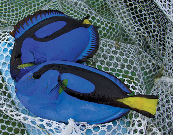 Hippo Tangs, Paracanthurus hepatus, were first bred in 2016 from this broodstock at the University of Florida's Tropical Aquaculture Laboratory under Craig Watson with funding from Rising Tide and Dr. Judy St. Leger. Image Credit: Matthew L. Wittenrich