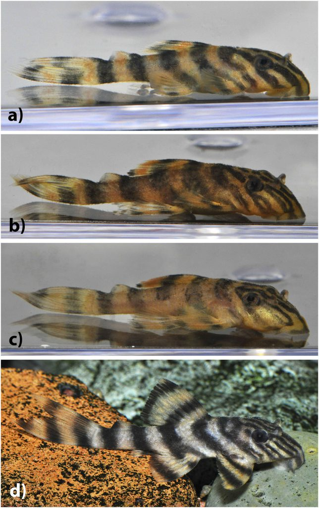 Fig 4. Juvenile Panaqolus tankei. Estimated standard lengths: (a) 14.5 mm, (b) 19.8 mm, (c) 21.4 mm, and (d) 30.0 mm (photos by I. Seidel).