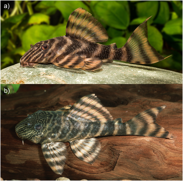 Fig 7. Live coloration of Panaqolus tankei. (a) from the region of Vitória do Xingu (live aquarium specimen; photo by R. Heidemann) and (b) from the region of Porto de Moz with more and finer lines on the head (live aquarium specimen; photo by A. Tanke).