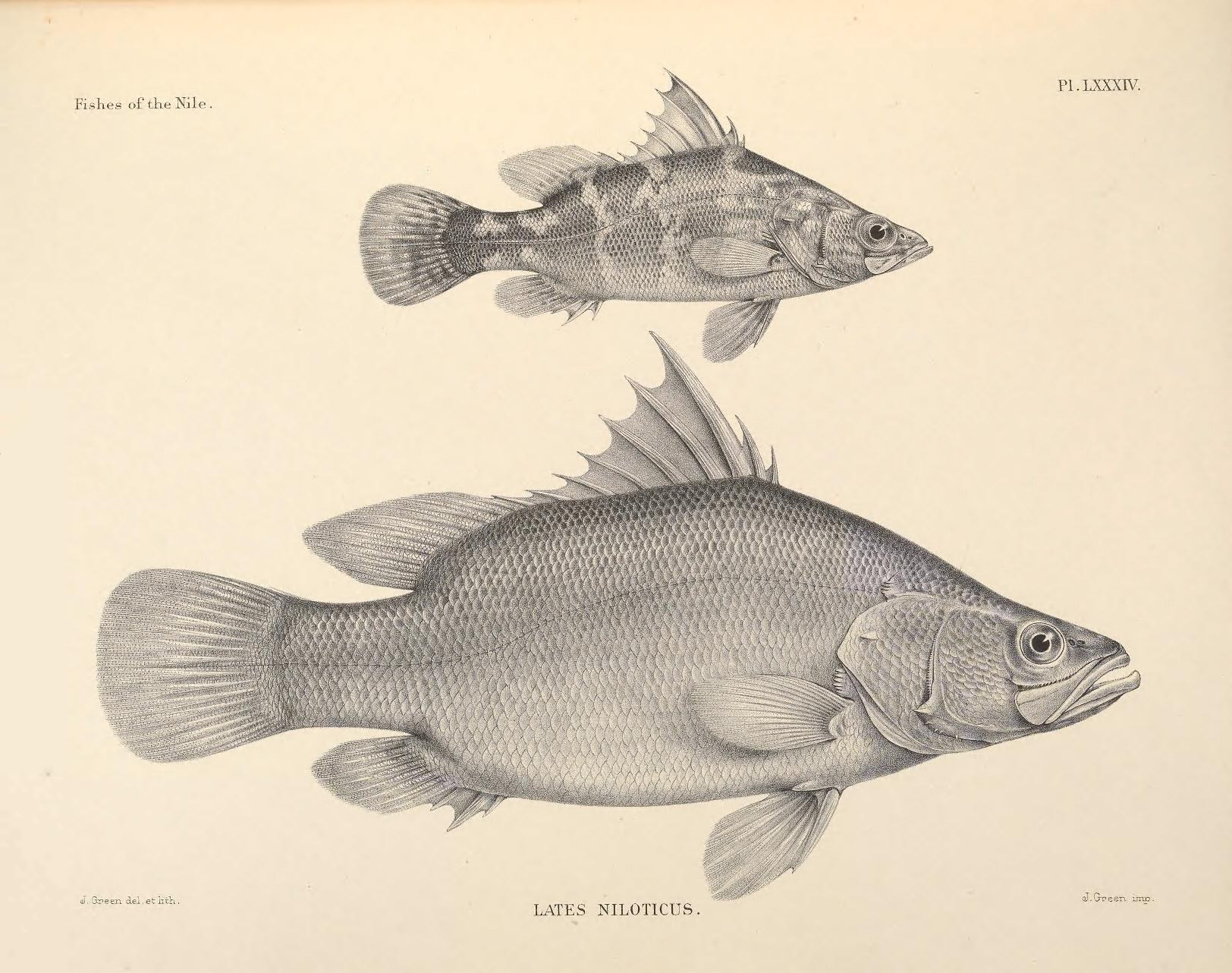 Freshwater fish marketing act - Nile Perch Lates Niloticus Is A Rare And Ill Suited Aquarium Offering