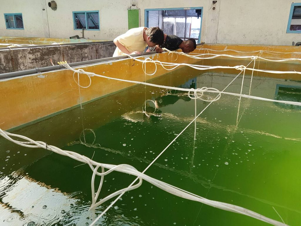 When large spawns of angelfish are collected from broodstock such as Pomacanthus annularis, the eggs are stocked into 25 ton concrete ponds like this one. Image courtesy Bali Aquarich / Wen-Ping Su.