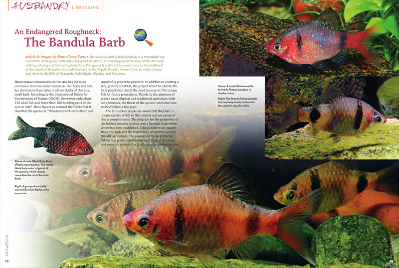 "...""some positive news about nature conservation. In our story on Bandula Barbs you will learn how the extinction of a species in nature was prevented by the committed efforts of many people. In large part this is because the local population was brought on board and enthusiastically supports the project"". Hans-Geoge Evers, introducing his article ""An Endangered Roughneck: The Bandula Barb"". Learn more about the plight of Pethia bandula in the latest issue."