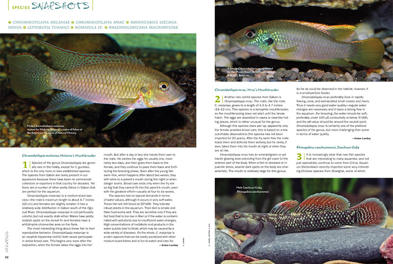What's new? What's hot? What's worth revisiting? AMAZONAS Magazine's Species Snapshots will keep you in the know with the latest freshwater fish in the aquarium industry. In this issue: Melanie's Mouthbrooder, (Chromidotilapia melaniae), Mrac's Mouthbrooder (Chromidotilapia mrac), the Szechuan Goby (Rhinogobius szechuanensis), the Chinese Kissing Loach (Leptobotia tchangi), an unidentified Stone Loach (Homatula sp.), and the Whiptail Catfish (Rhadinoloricaria macromystax).