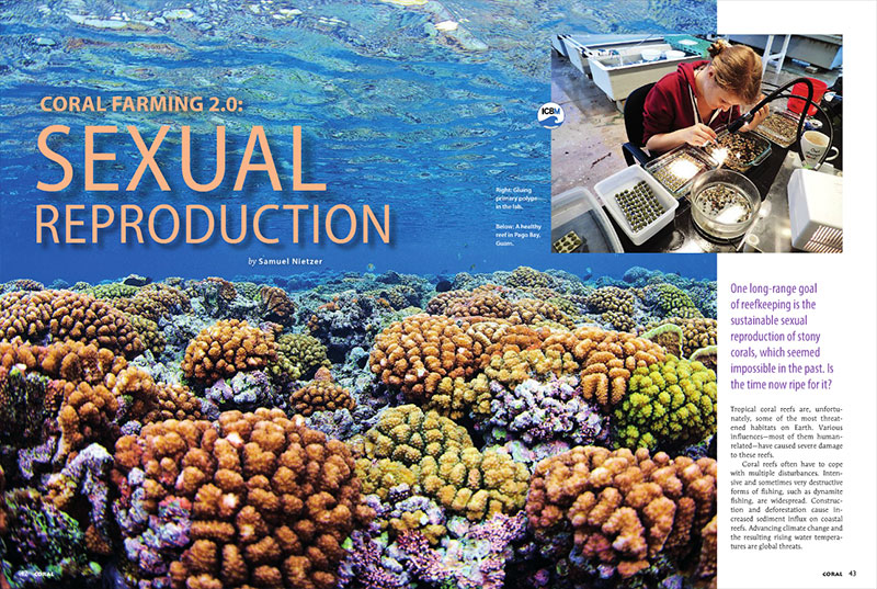 "Samuel Nietzer postulates, ""One long-range goal of reefkeeping is the sustainable sexual reproduction of stony corals, which seemed impossible in the past. Is the time now ripe for it?"" Find out in the must-read article, ""Coral Farming 2.0: Sexual Reproduction."""