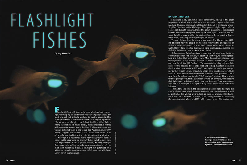 """A flashlight fish purchased on a whim and casually added to an unmodified aquarium will almost always perish in short order...Home aquarists wanting to keep flashlight fishes need to be willing to make some concessions in order to meet their husbandry needs."" Learn how to succeed with this comprehensive guide, ""Flashlight Fishes,"" by highly-experienced public aquarist Jay Hemdal."