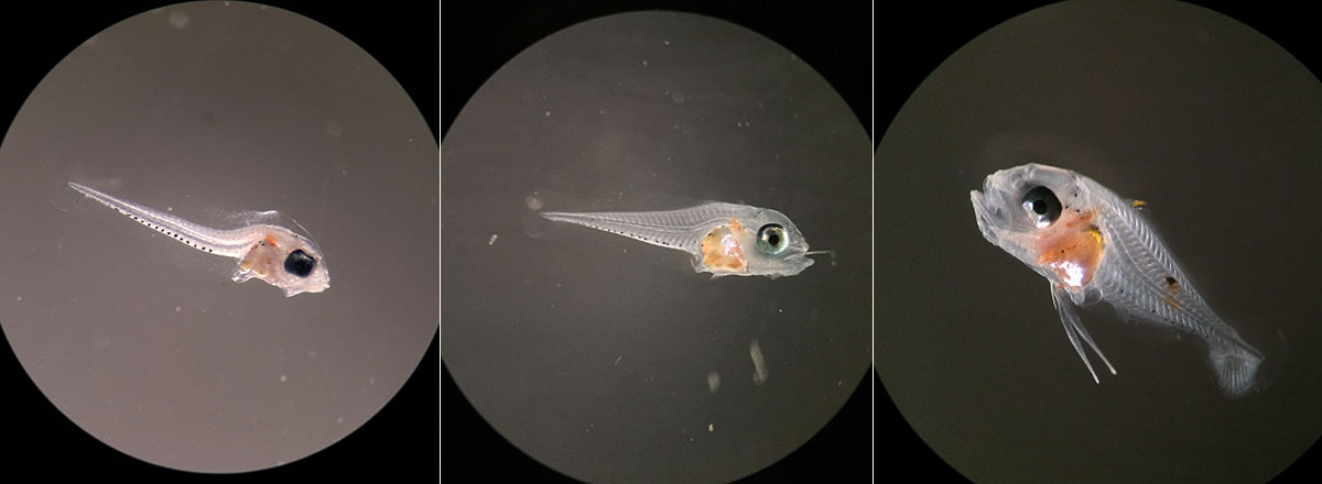 Early larval development of the Blue Reef Chromis, Chromis cyanea, shown here left to right: 9 dph, 12 dph, 17 dph.