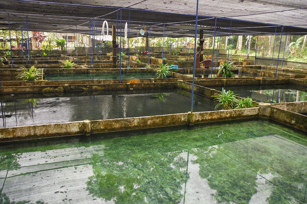 Sri Lanka supplies a large number of livebearers, like guppies produced on this farm, for the global trade