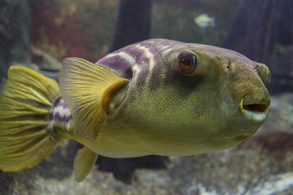 A very photogenic Fahaka Puffer (Tetraodon lineatus)