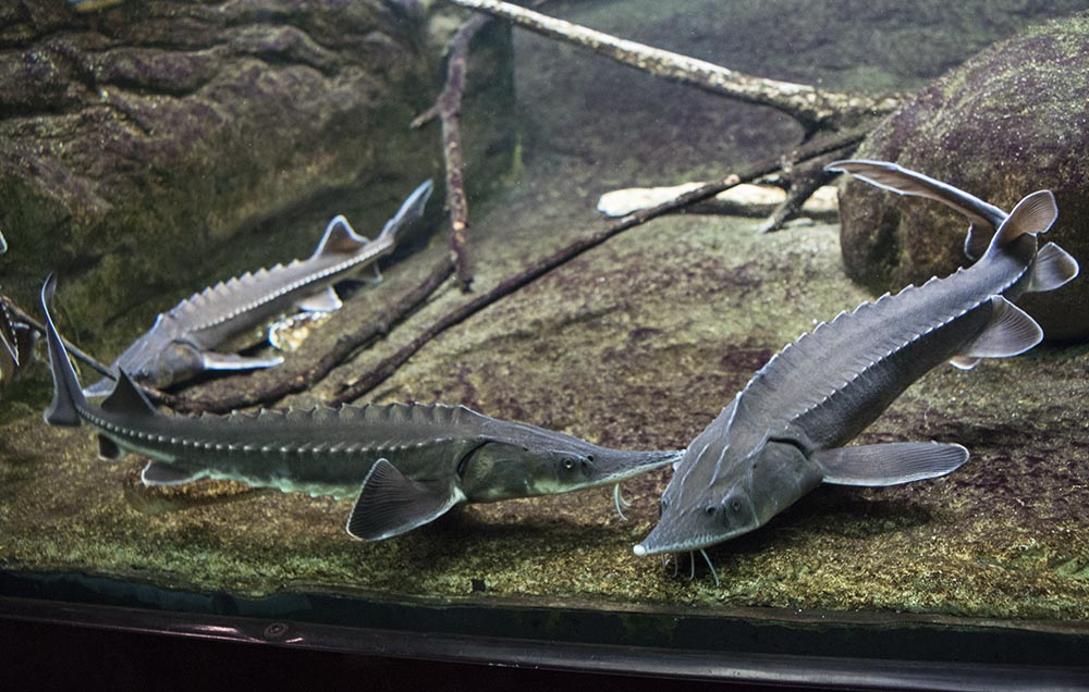 Not all the impressive fish at Shedd are tropical. These Sturgeon are North American natives