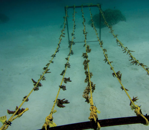 One of our rope nurseries. Each 16-foot (5-m) rope holds 50 coral fragments.