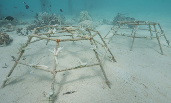 Older, traditional coral frames have been used throughout the Maldives. Very few hold corals that survived the bleaching event.