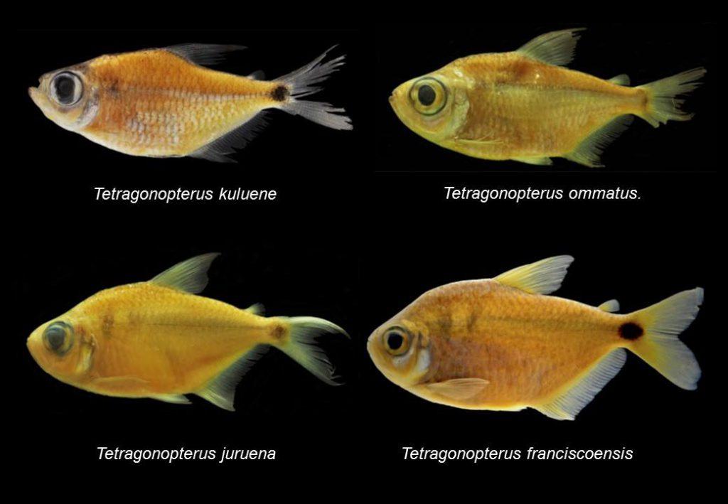 Four new species of Tetragonopterus; Tetragonopterus franciscoensis Silva et al., 2016 Tetragonopterus juruena Silva et al., 2016 Tetragonopterus kuluene Silva et al., 2016 Tetragonopterus ommatus Silva et al., 2016 Photo credit: Silva et al.