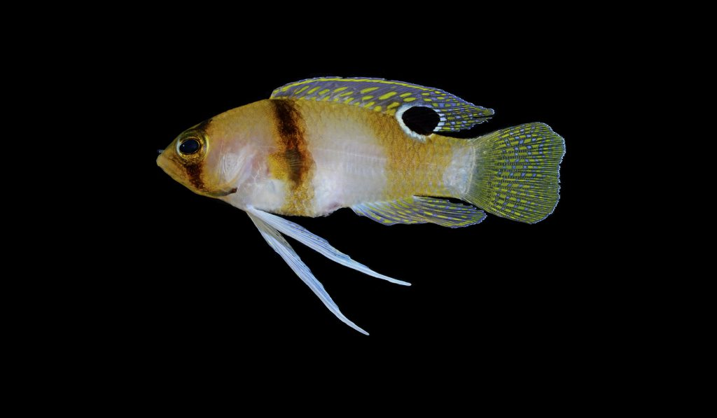 The newly-described Yellow Banded Basslet, Lipogramma haberi. Image by D. R. Robertson and C. C. Baldwin