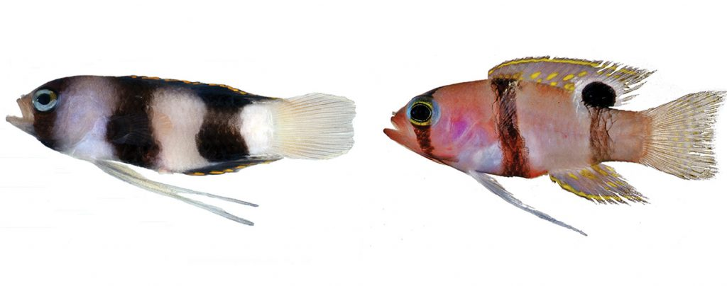Compare the Lipogramma levinsoni holotype at left, with Lipogramma evides, shown at right. It is easy to see the difference in band width and shape between these two species. Both photos by D. R. Robertson and C. C. Baldwin.