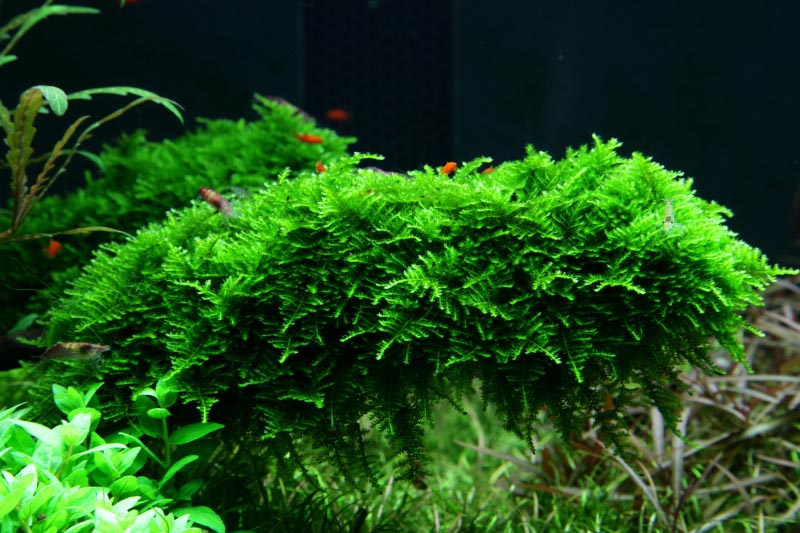 Mosses, like this lush pillow of Christmas Moss (V. dubyana 'Christmas') are increasingly important elements in well-aquascaped tanks