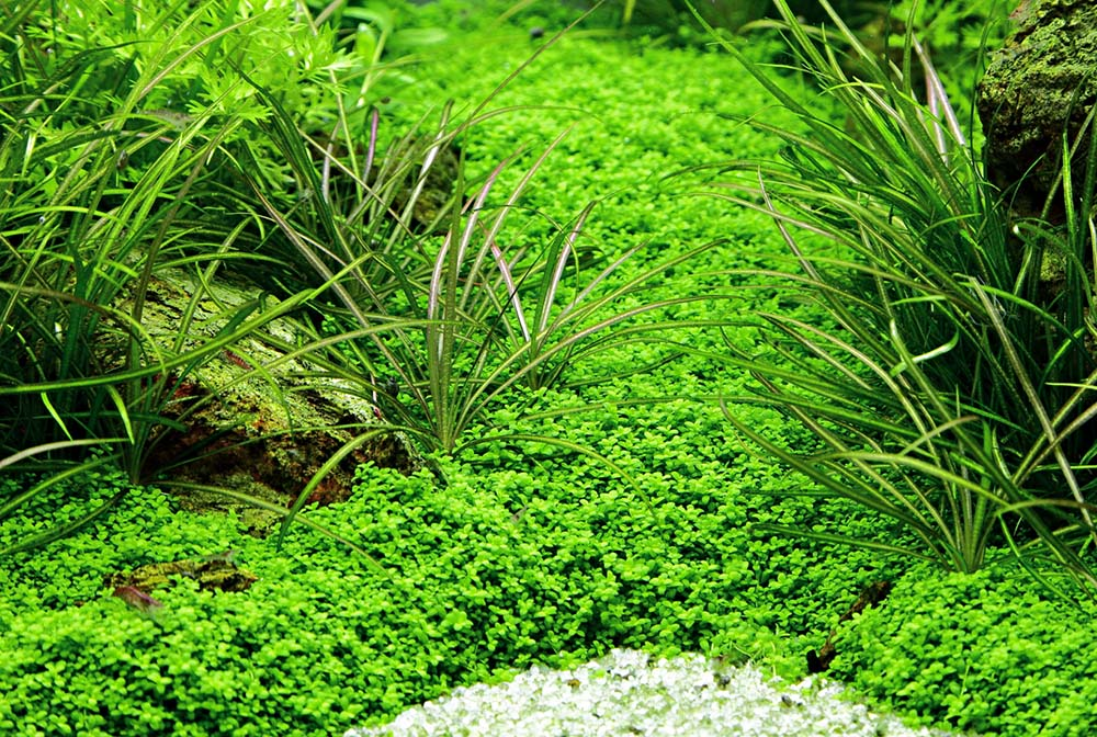 A lush carpet of Hemianthus callitruchoides 'Cuba' grown from Tropica Tissue Culture plants