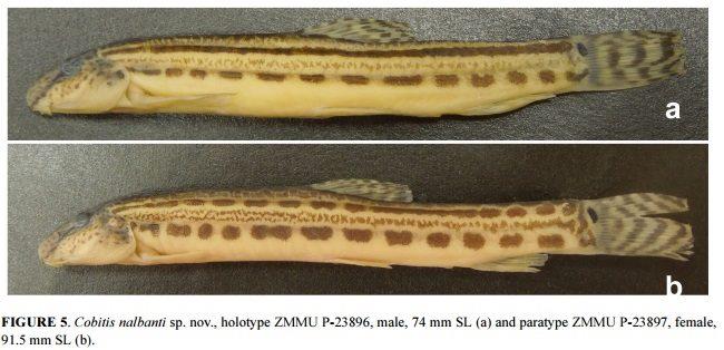 Cobitis nalbanti holotype and paratype. Image credit Vasil'eva et al., Zootaxa.