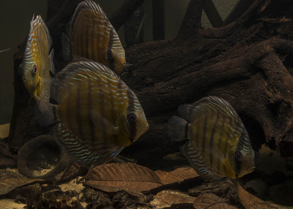 Group of wild discus displaying natural grazing behavior among driftwood and leaf litter
