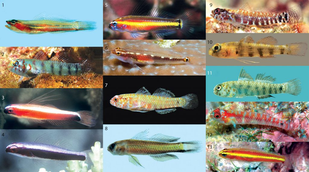 Identifying Eviota Gobies just got a whole lot easier! How many of these can you ID? Download the key and see how many you got right! Image credits (and species IDs) at the end (so if you're playing, no peeking). CC-BY-4.0
