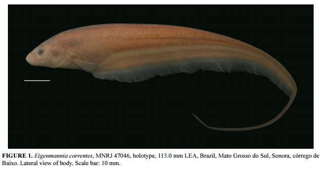 Such a beautiful new knifefish species, Eigenmannia correntes. Image credit: Ricardo Campos-Da-Paz & Igor Raposo Queiroz, Zootaxa.