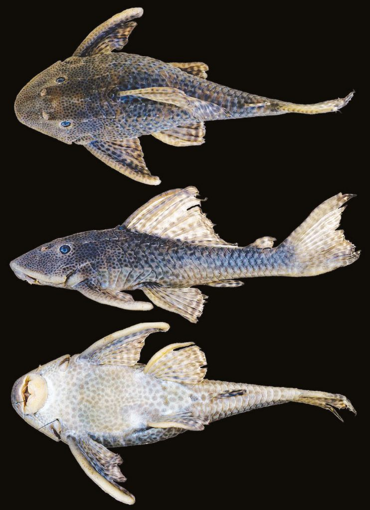Hypostomus formosae, MACN Ict 9720, holotype, 177 mm SL; Argentina: Paraguay River drainage. Dorsal, lateral, and ventral views. (Photographs by Yamila P. Cardoso).
