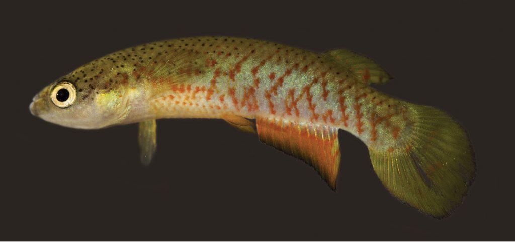Melanorivulus ignescens, male holotype