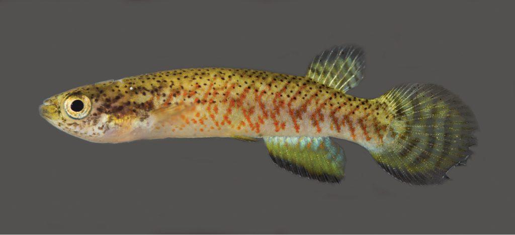 Melanorivulus ignescens, female paratype