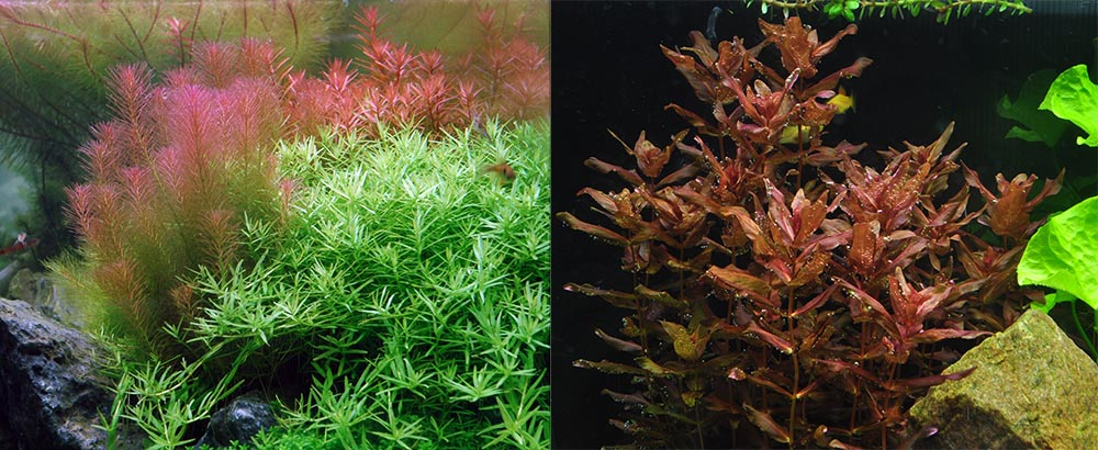 Rotala species, like R. wallichii (left) and R. macrandra (right) add a splash of color to high light aquariums