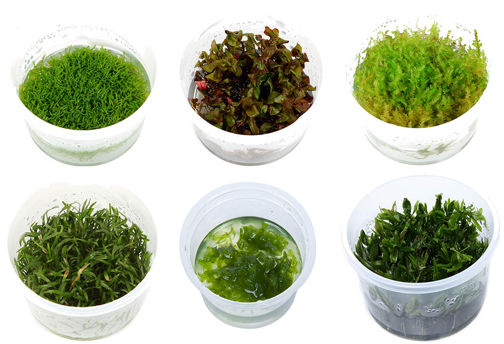 A selection of Tropica's Tissue Cultured aquarium plants. Clockwise from top left: Riccia fluitans, Rotala macrandra, Vesicularia dubyana 'Christmas', Didiplis diandra, Monoselenium tenerum, and Lilaeopsis braziliensis