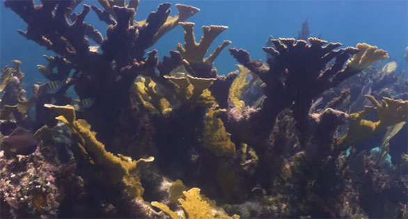 Journey to Mexico to see a rare site these days; Acropora palmata, the Elkhorn coral.